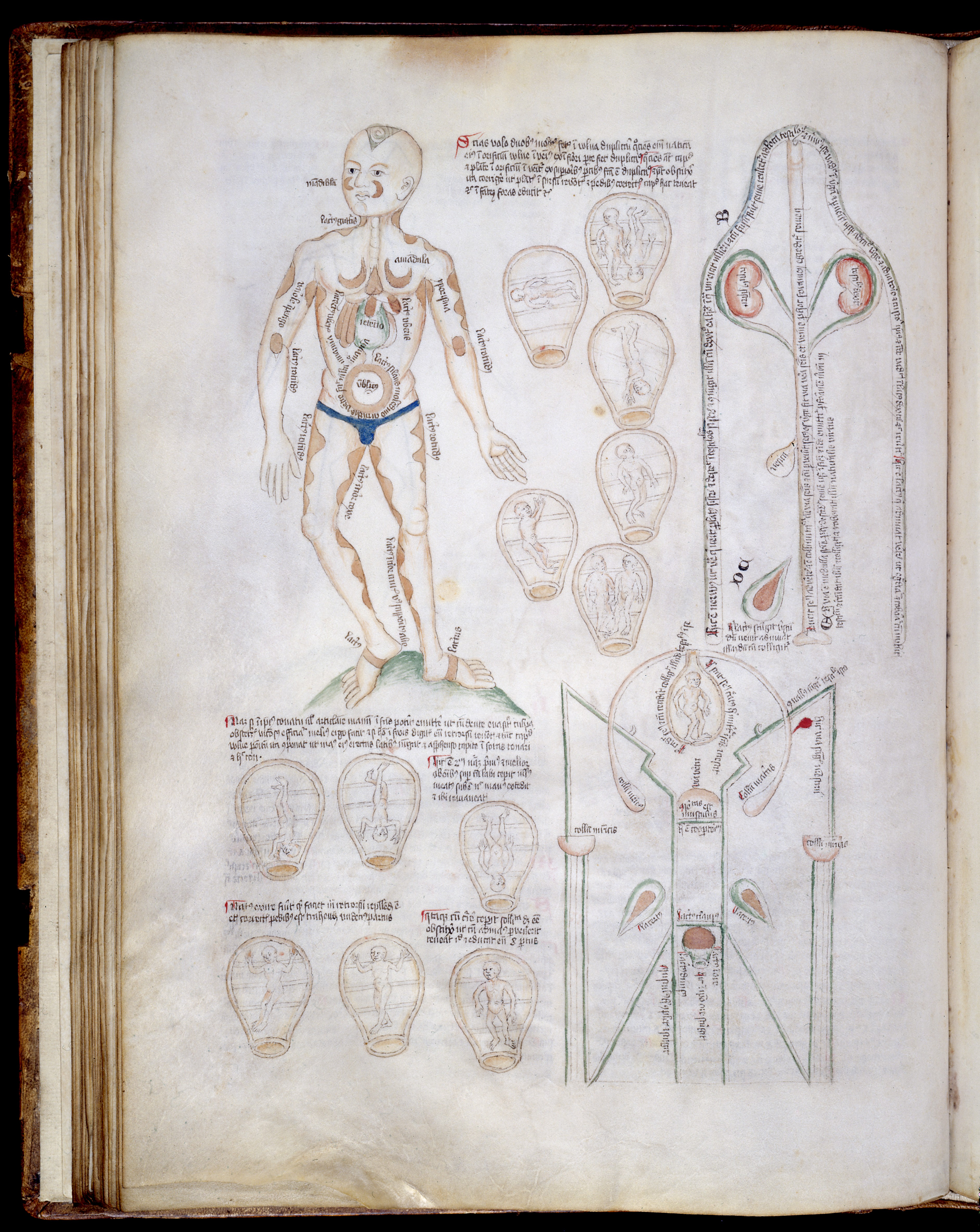 Filemuscle Man Foetal Positions In Uterus Female Anatomy Wellcome