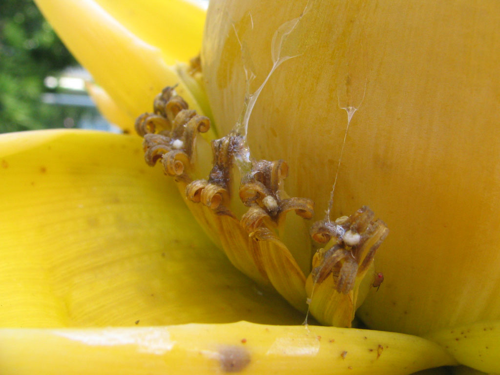 file musella lasiocarpa golden lotus banana desc. Black Bedroom Furniture Sets. Home Design Ideas