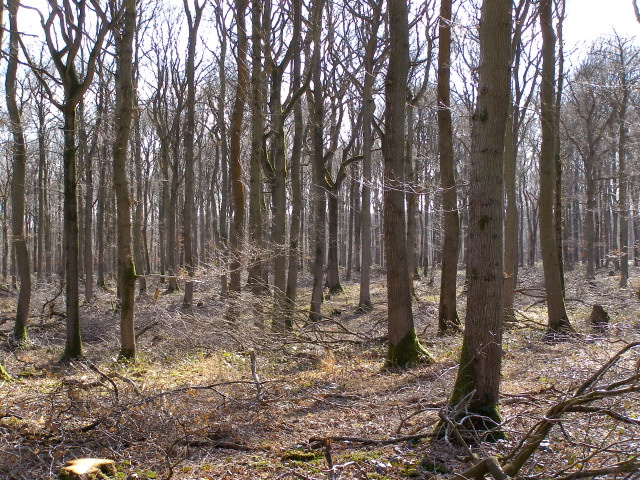 Oak trees in Hartway Copse, Harewood Forest - geograph.org.uk - 147458