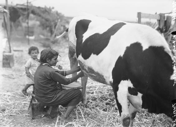 Description PikiWiki Israel 4793 Milking cow.jpg