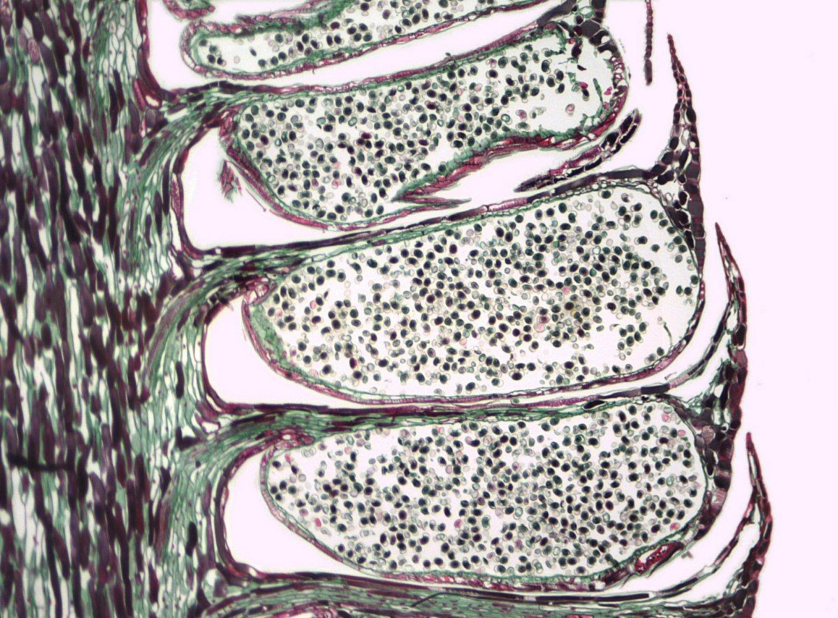 File Pinus Staminate Cone Jpg Wikimedia Commons