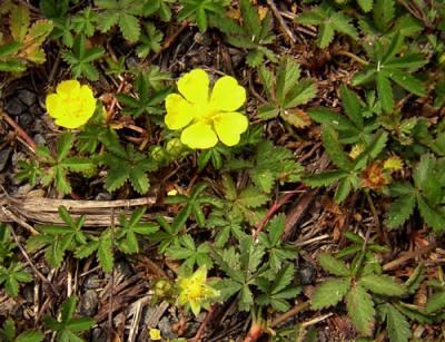 Potentil wikipedia den frie encyklop di - Mauvaise herbe fleur jaune ...
