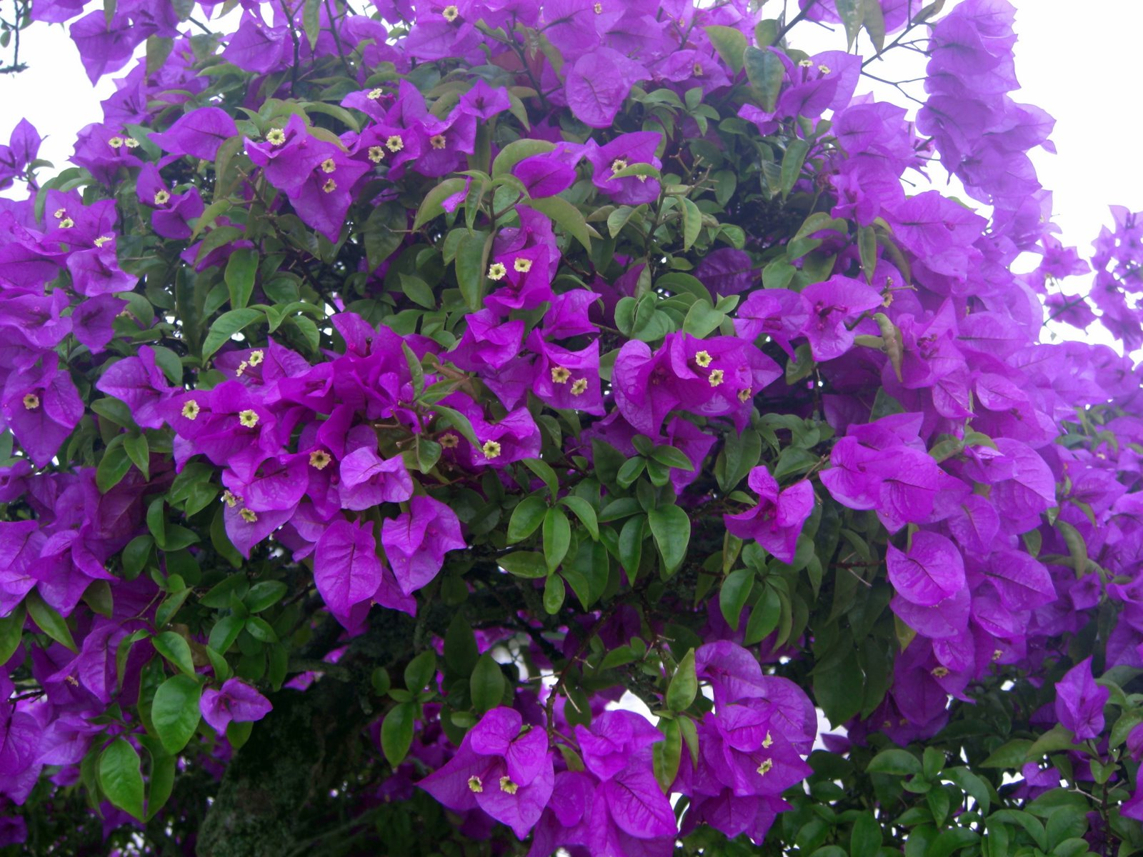 Shrubs with purple flowers pictures - The 13 Best Summerblooming Shrubs For Your Garden