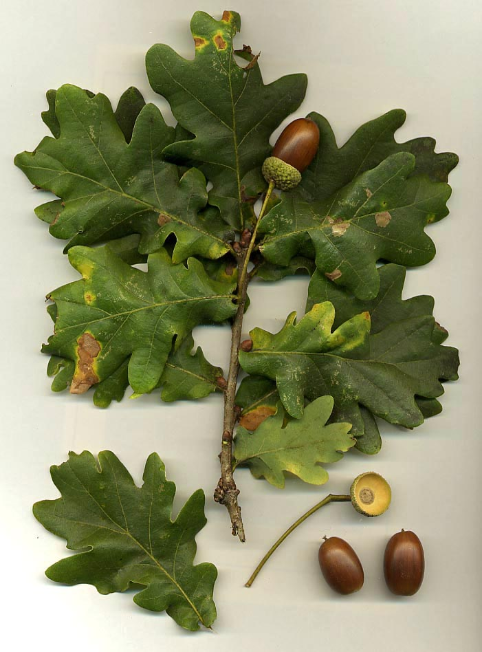 Quercus robur.jpg © Commons (Wikimedia Commons - CC-BY-SA-3.0-migrated; GFDL)