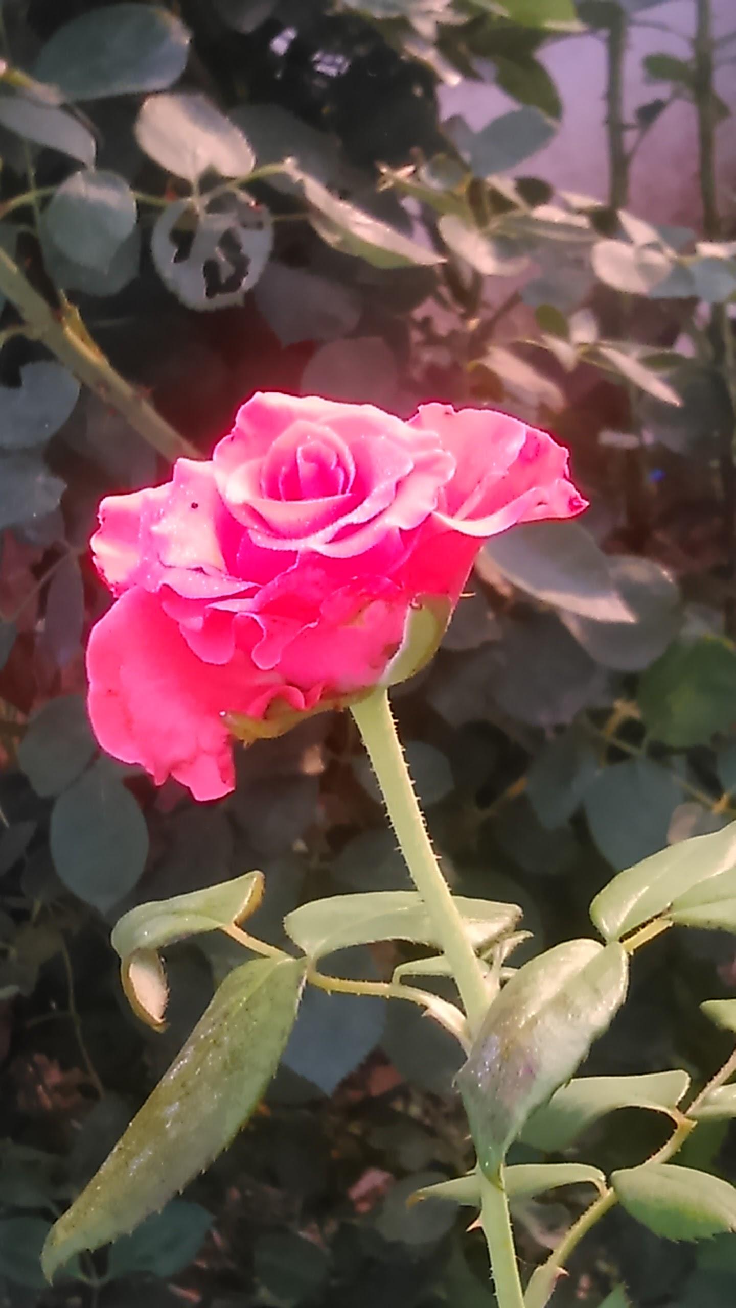 Filered Rose Symbol Of Loveg Wikimedia Commons