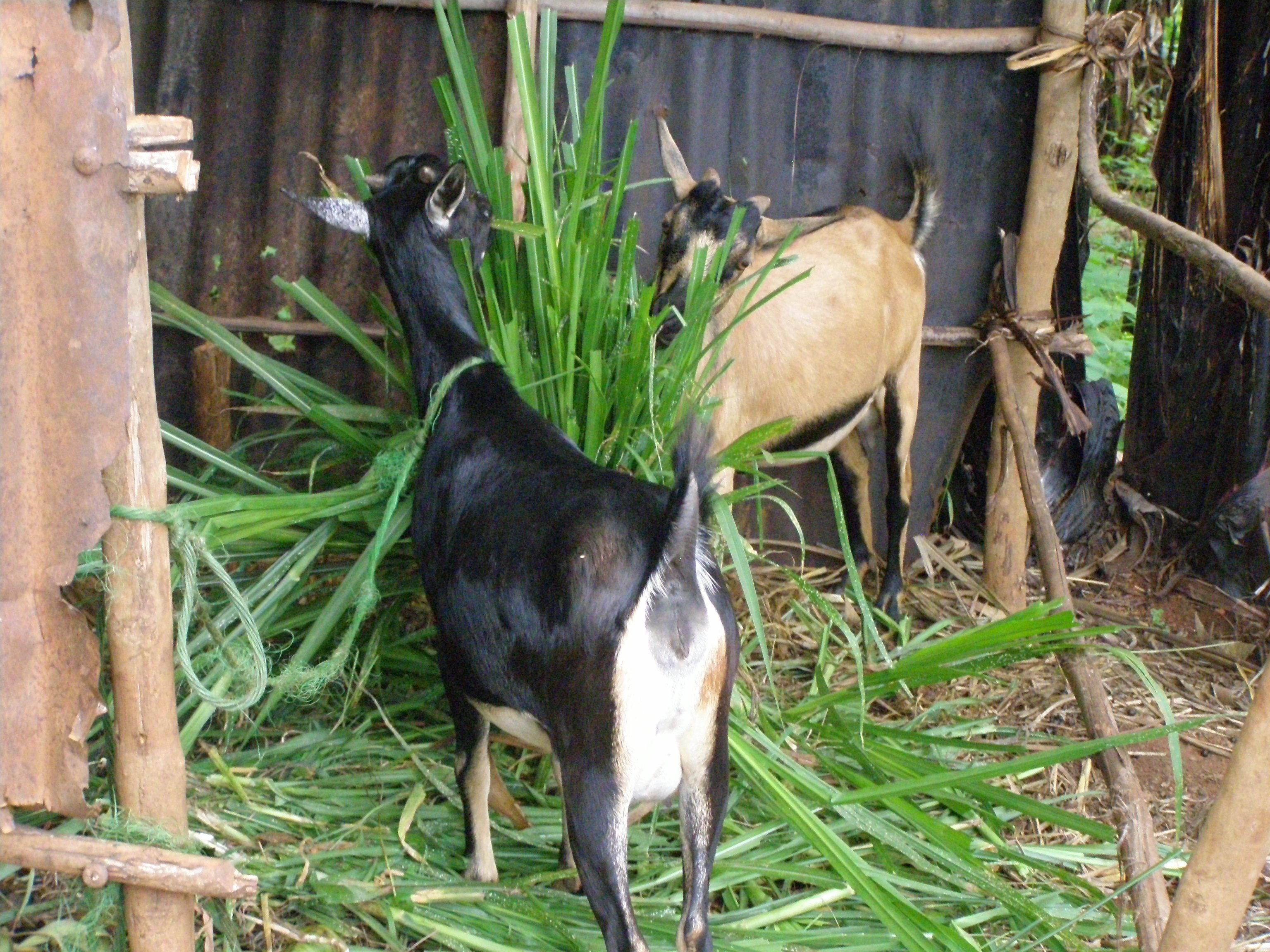 File:Rwandan farm cooperative goats.jpg - Wikimedia Commons
