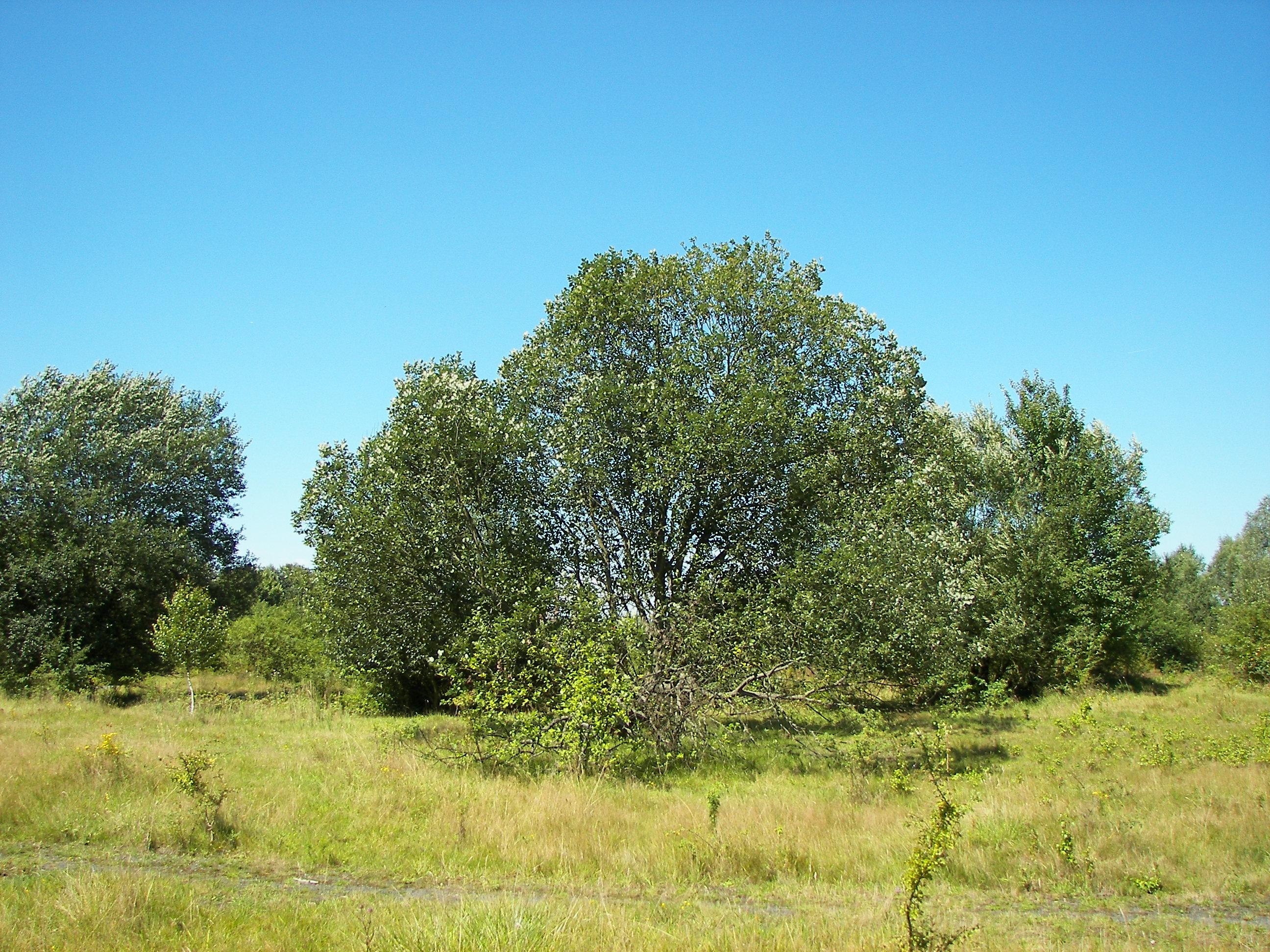 File:Salix caprea 035.jpg - Wikimedia Commons