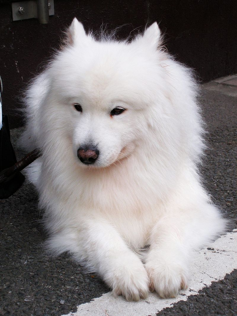Great White Dog Breeds