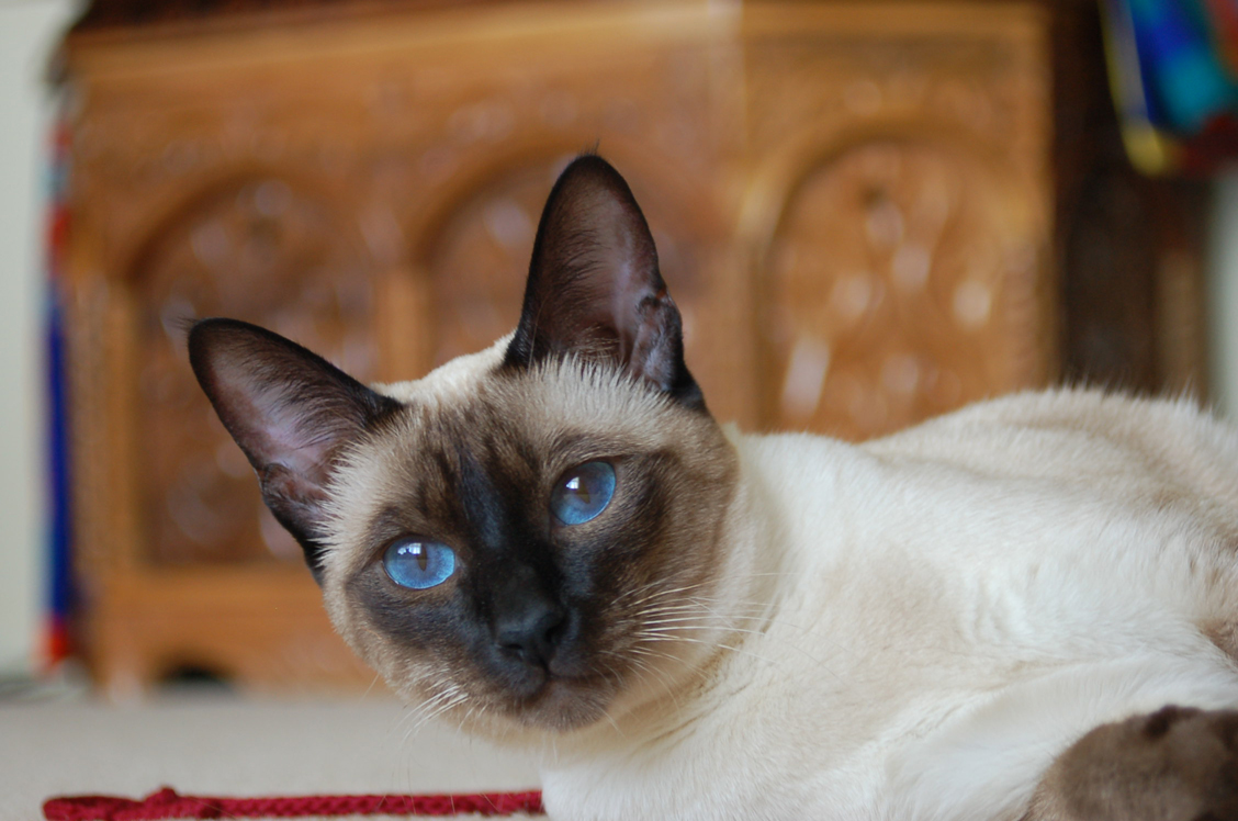 is erythritol safe for cats