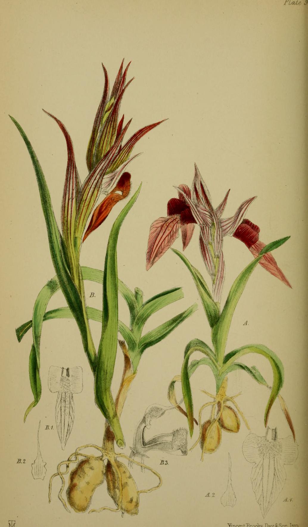 http://upload.wikimedia.org/wikipedia/commons/a/af/Serapias_neglecta_-_Serapias_vomeracea_(as_Serapias_longipetala)_-_Moggridge_-_Flora_of_Mentone_pl._94_(1871).jpg
