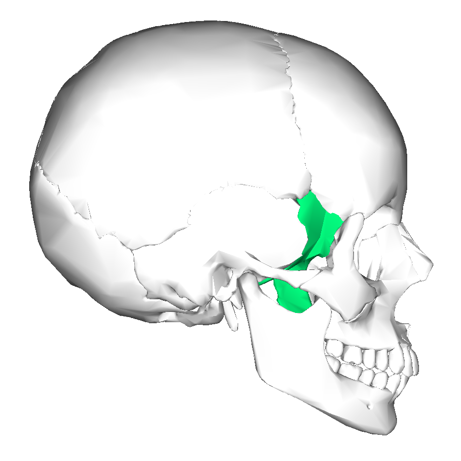 file:sphenoid bone - lateral view - wikimedia commons, Human Body