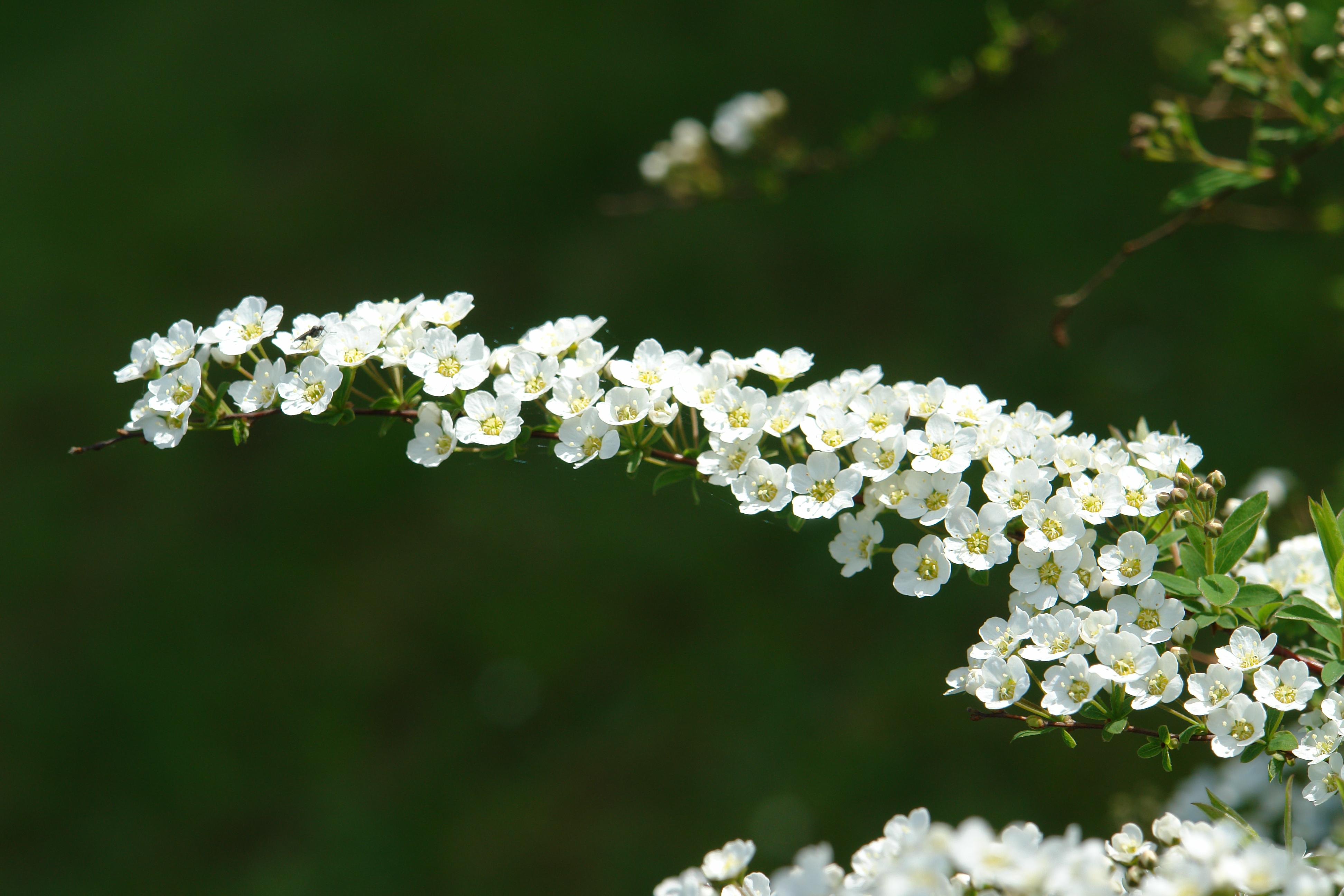 Spiraea Cinerea Grefsheim : file spiraea x cinerea 39 grefsheim 39 flowers jpg wikimedia commons ~ Orissabook.com Haus und Dekorationen