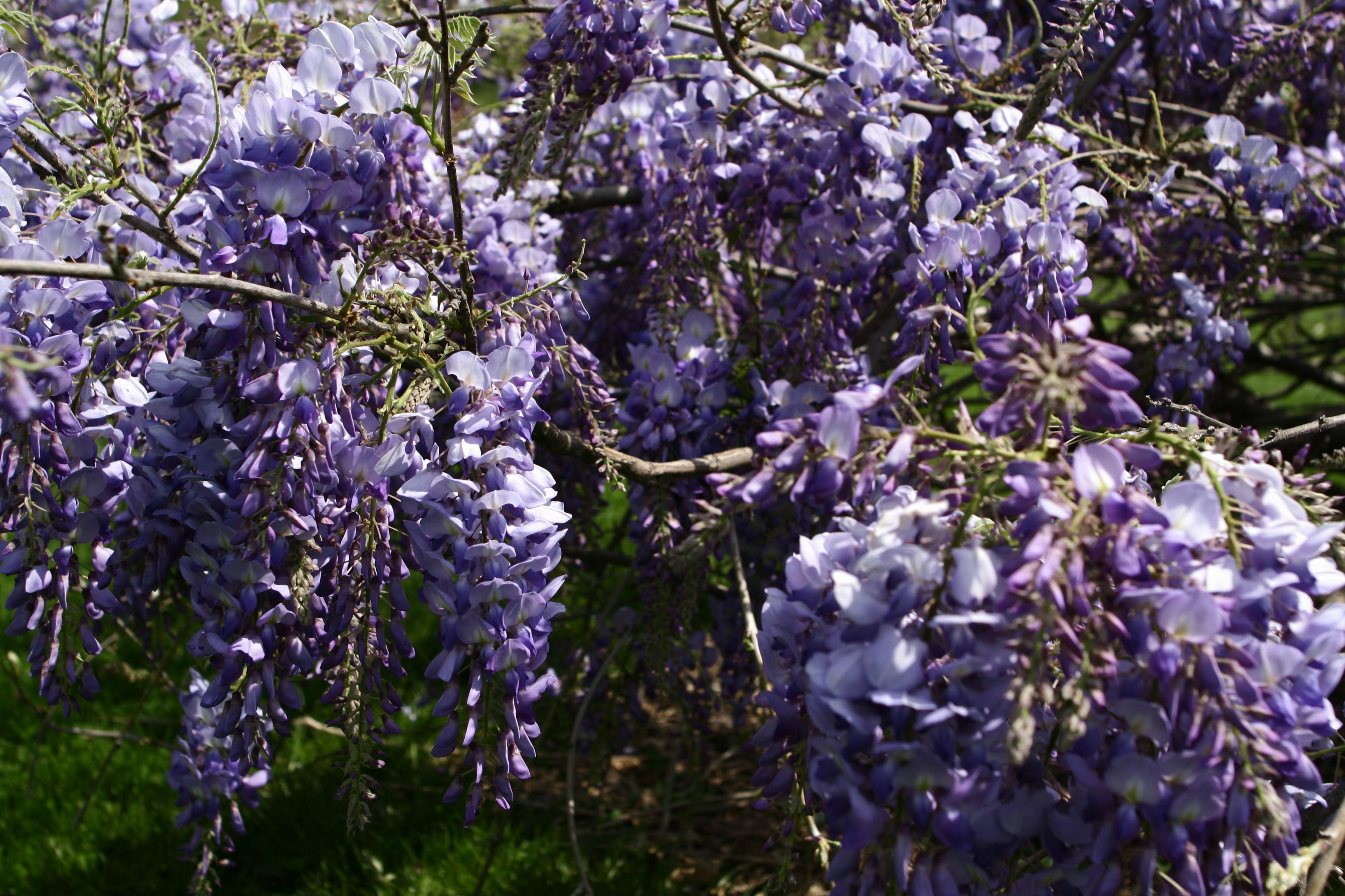 File Spring Flower Wisteria Clusters West Virginia