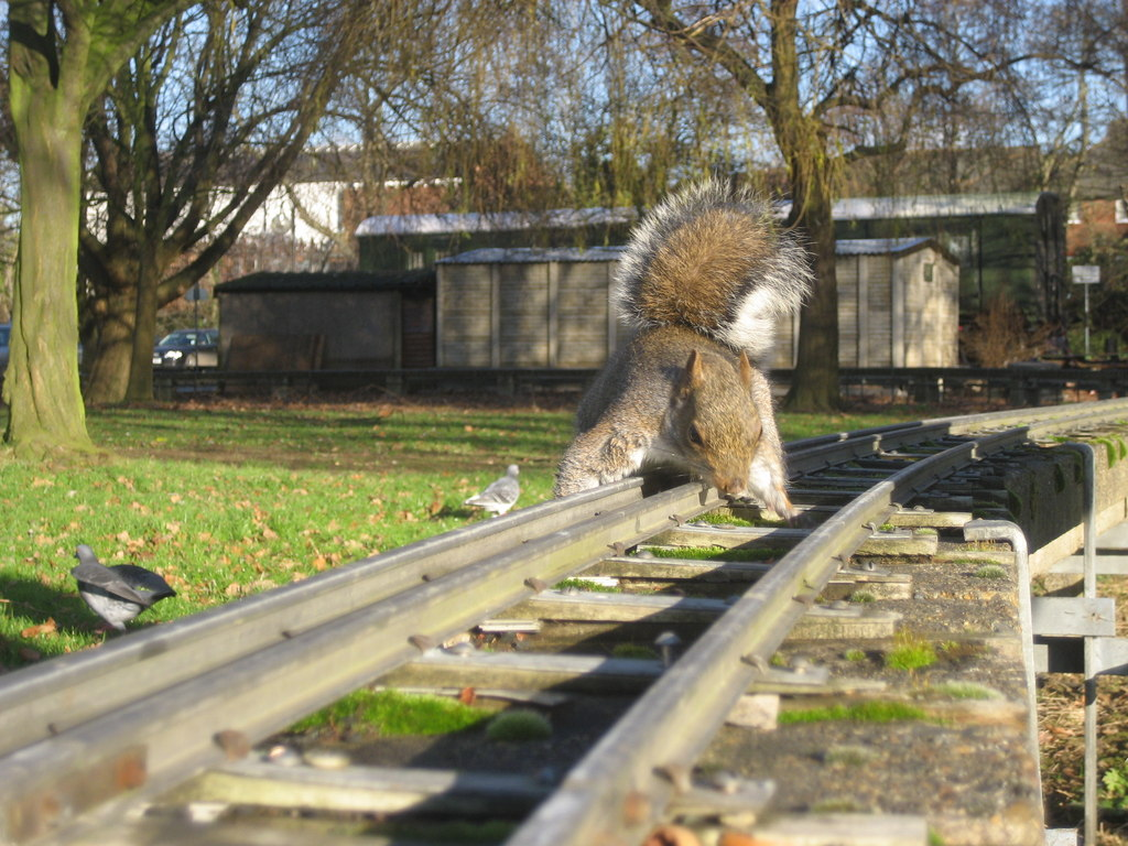Squirrel On The Line This Grey Squirrel Sciurus Carolinensis Is Carrying Out A Safety