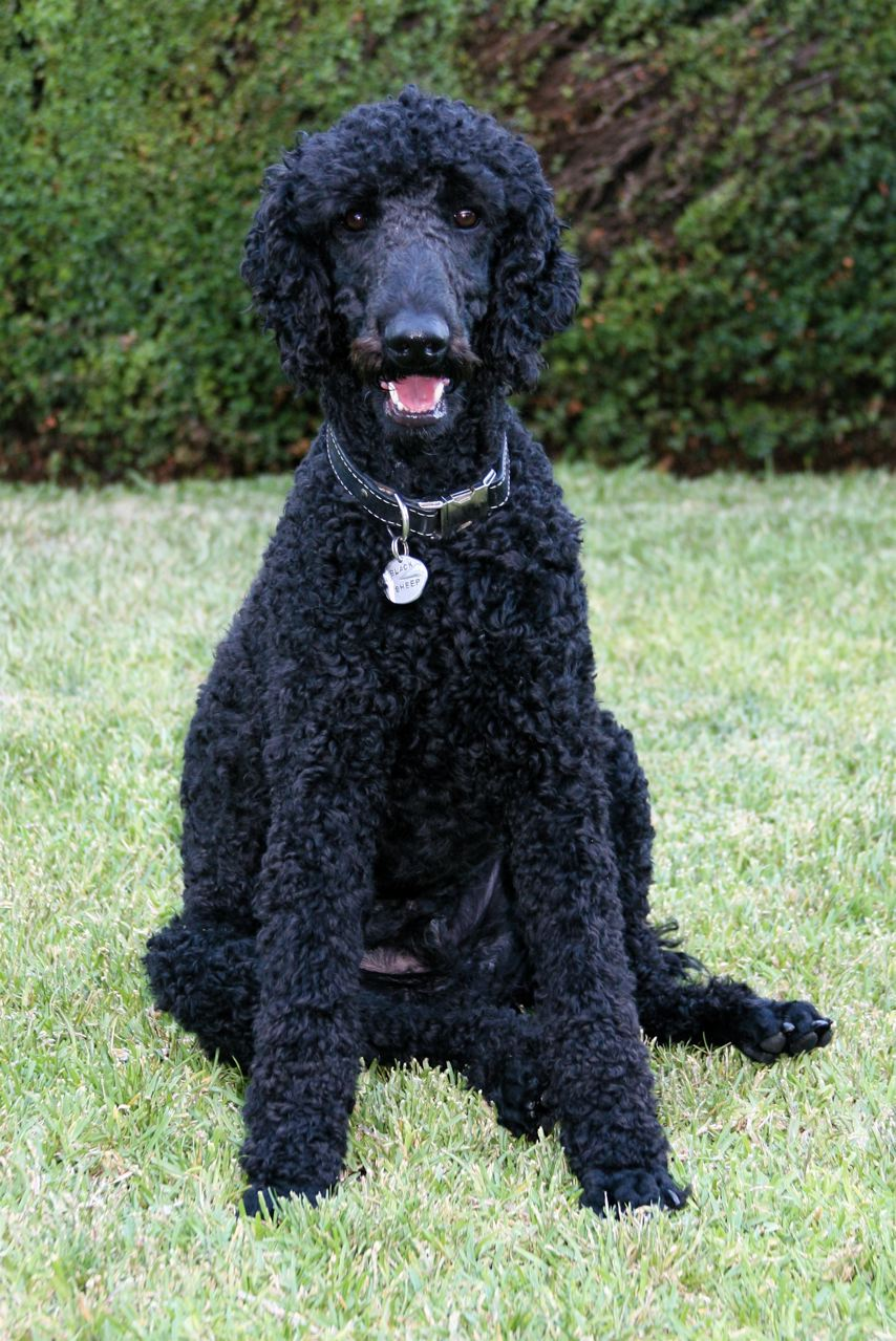 Description Standard Poodle black male sitting.jpg