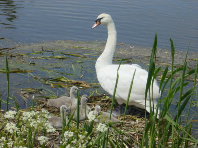 Swan and cygnets, Sankey Canal - geograph.org.uk - 36685