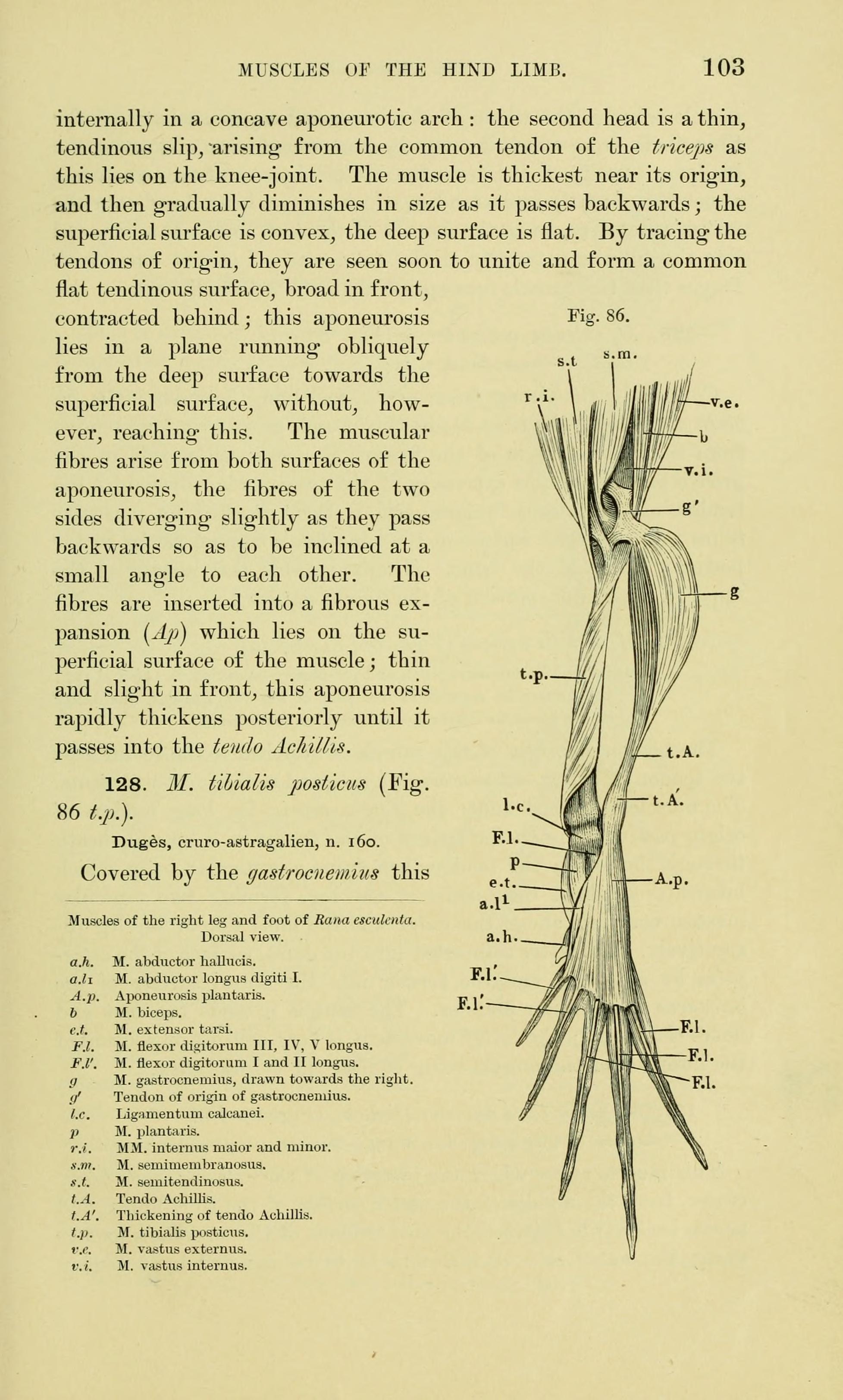 File:The anatomy of the frog (Page 103, Fig. 86) BHL7554718.jpg ...