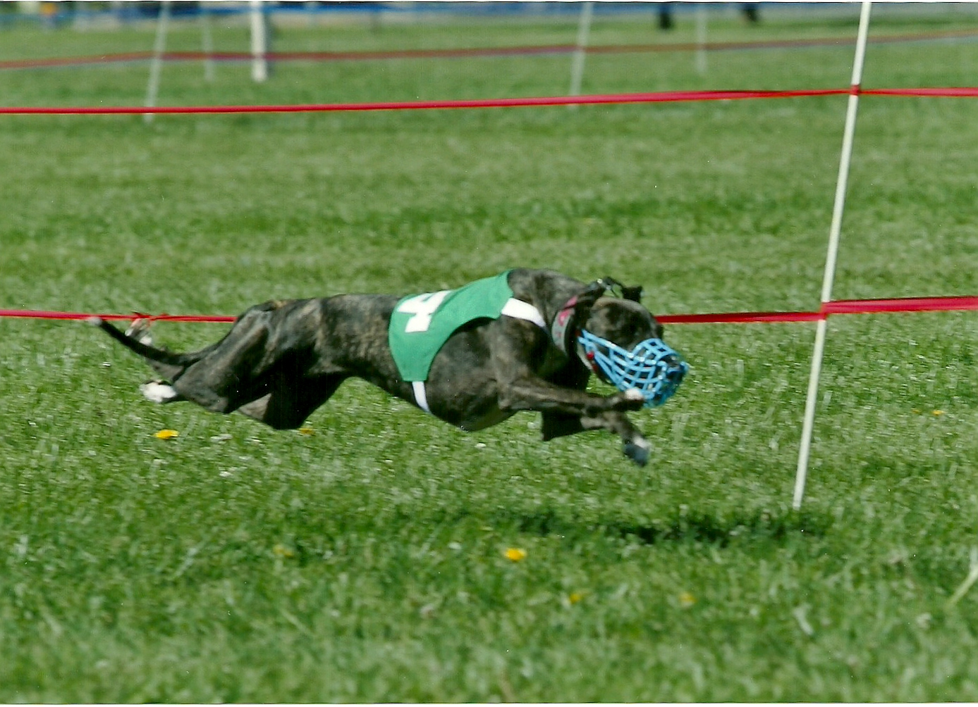 File:Whippet dog lucy racing 10002.jpg - Wikimedia Commons