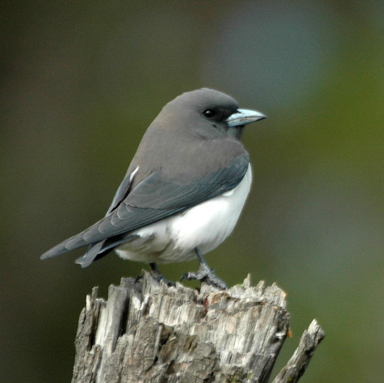 File white breasted woodswallow samcem jpg wikimedia commons for Oiseau jaune et noir