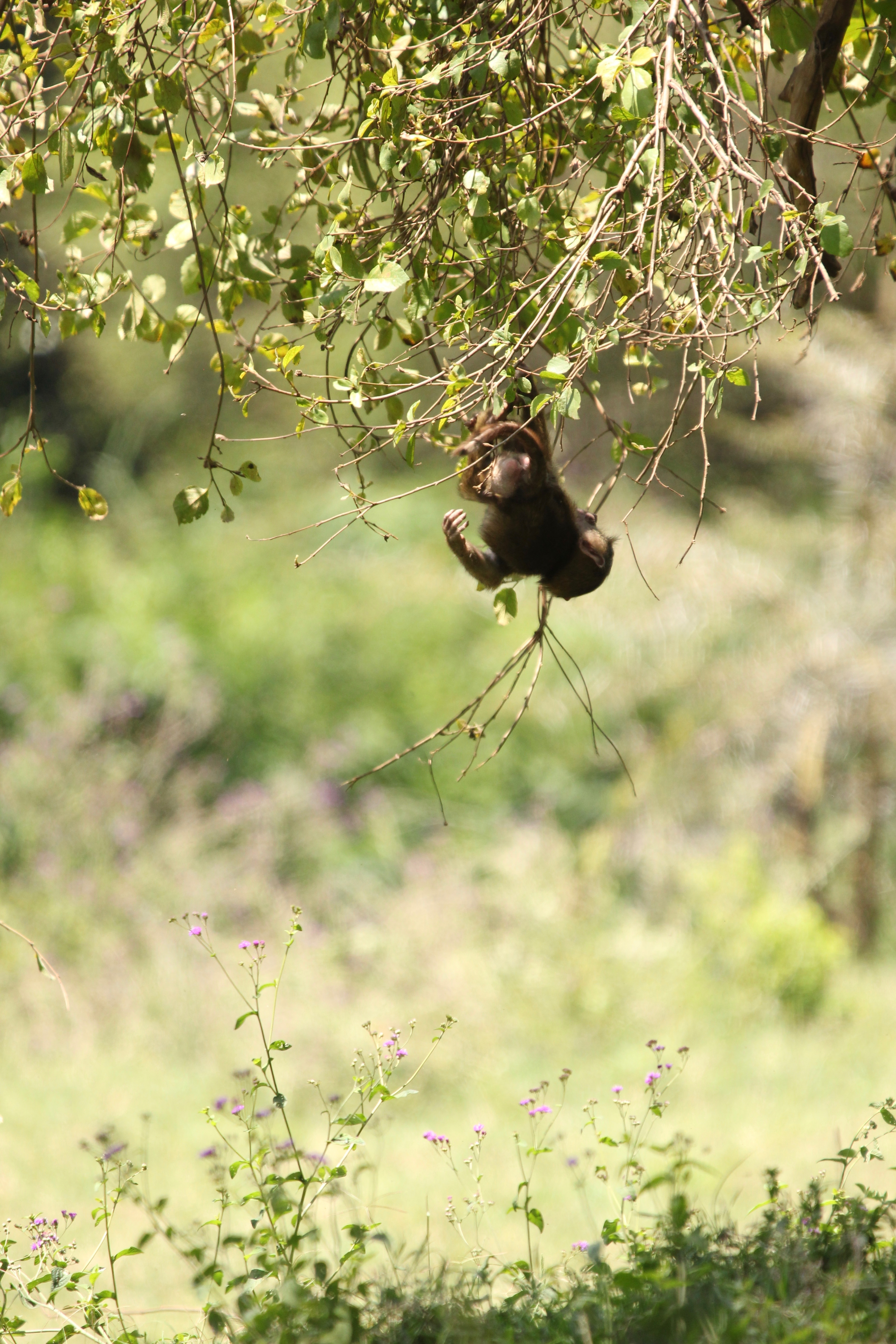 babboon up to monkey tricks (30706795338).jpg Lake Nakuru National Park, Kenya. Sep 2018. Date 31 August 2018, 16:30 Source Young olive babboon up to monkey