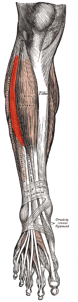 Extensor Digitorum Longus. Origin and Insertion