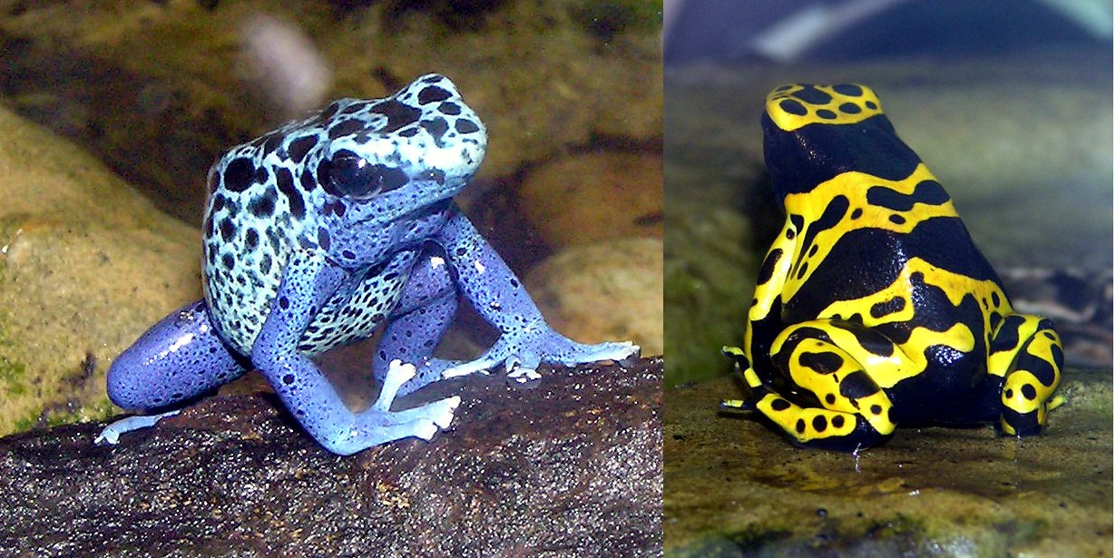 Poison Dart Frog Dangerous Animals