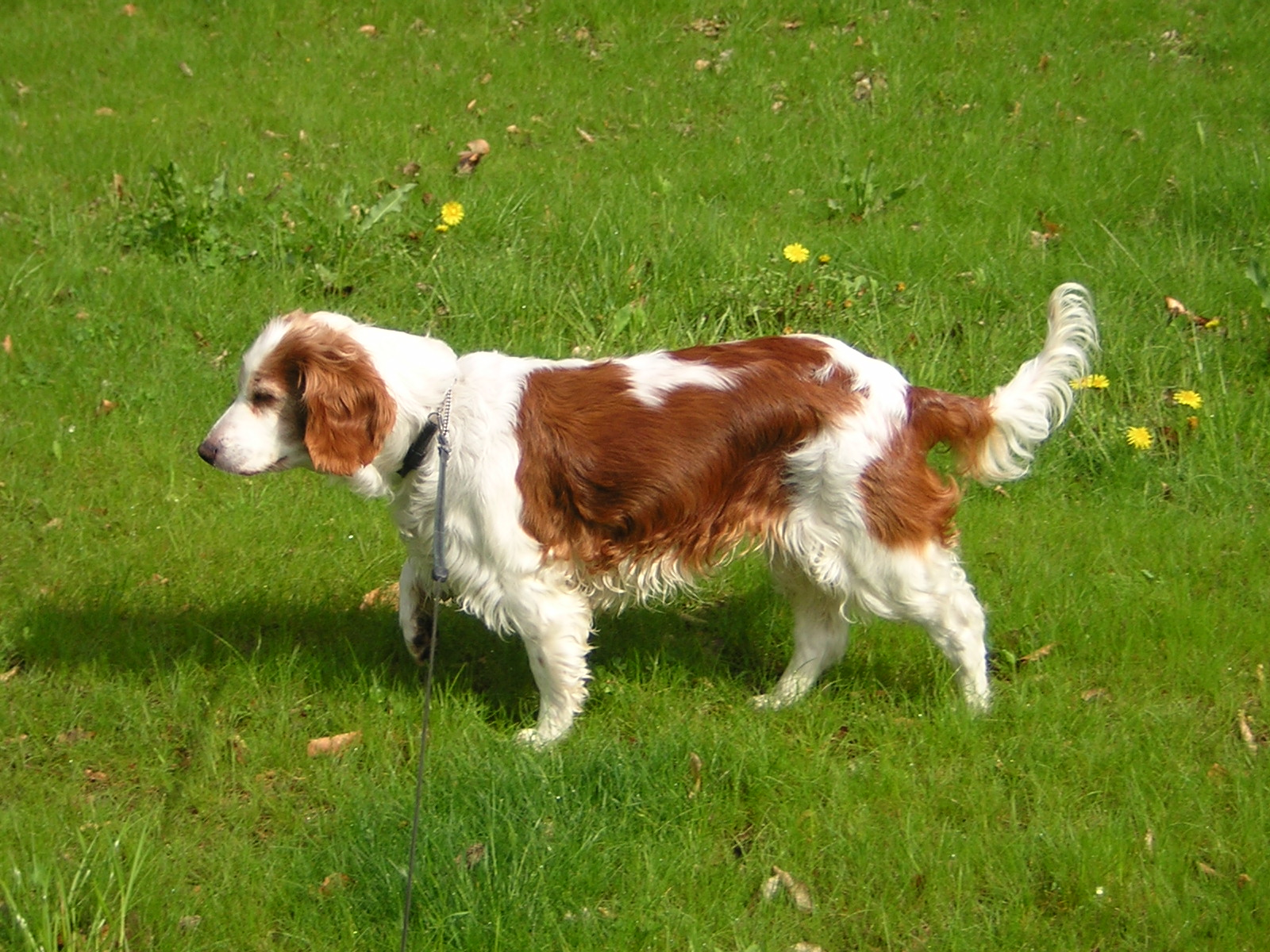 Welsh Springer Spaniel Dog Puppies