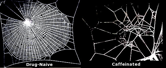 an ordinary spiderweb vs. one made by a spider high on caffeine