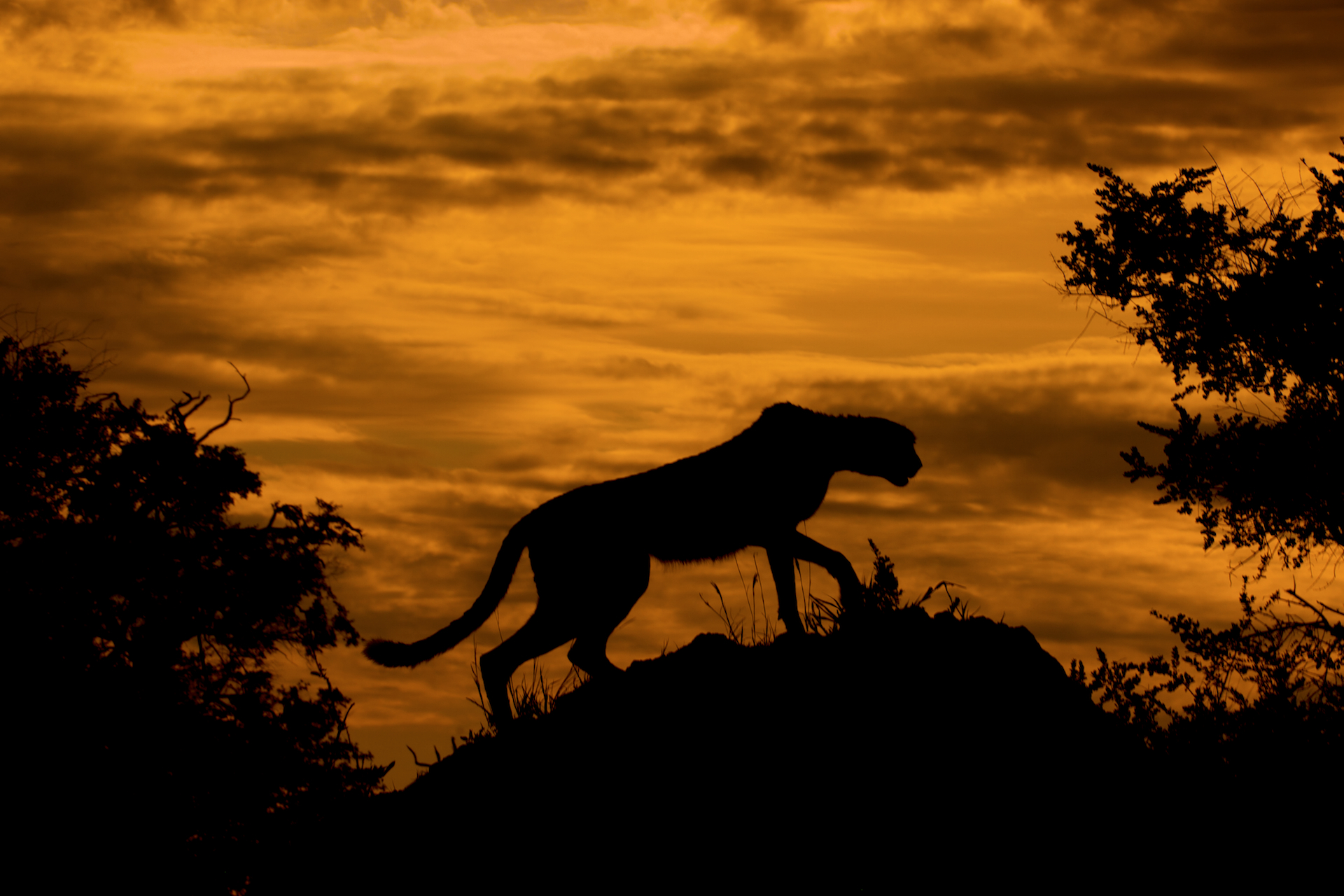 A cheetah at sunset - © Arturo de Frias Marques, Wikimedia Commons