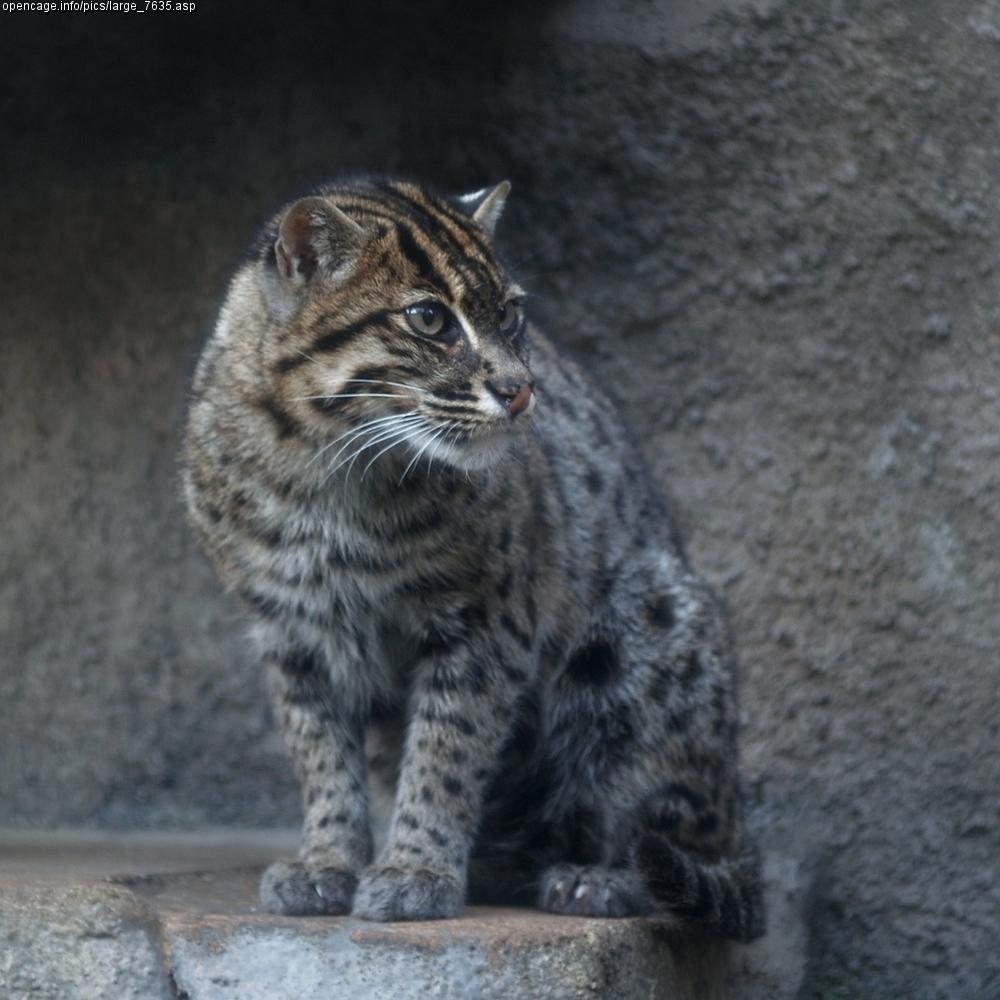 解答豹猫与渔猫的区别