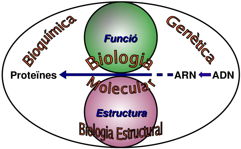 http://upload.wikimedia.org/wikipedia/commons/archive/9/92/20070124120009!Relacio_biologia_molecular_amb_altres_camps_biologia.png