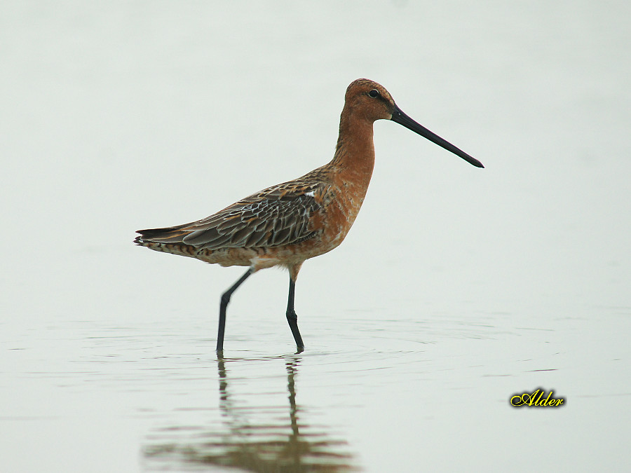 One Asian Dowitcher dropped in
