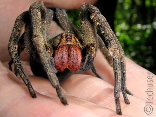El veneno de araña es más efectivo que el Viagra 3/2011