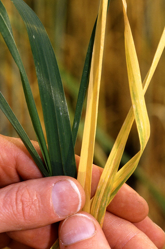 http://upload.wikimedia.org/wikipedia/commons/archive/9/9a/20080219033522!Barley_Yellow_Dwarf_Virus_in_wheat.jpg