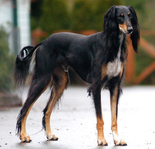 dogs breed pics. File:Saluki dog breed.jpg