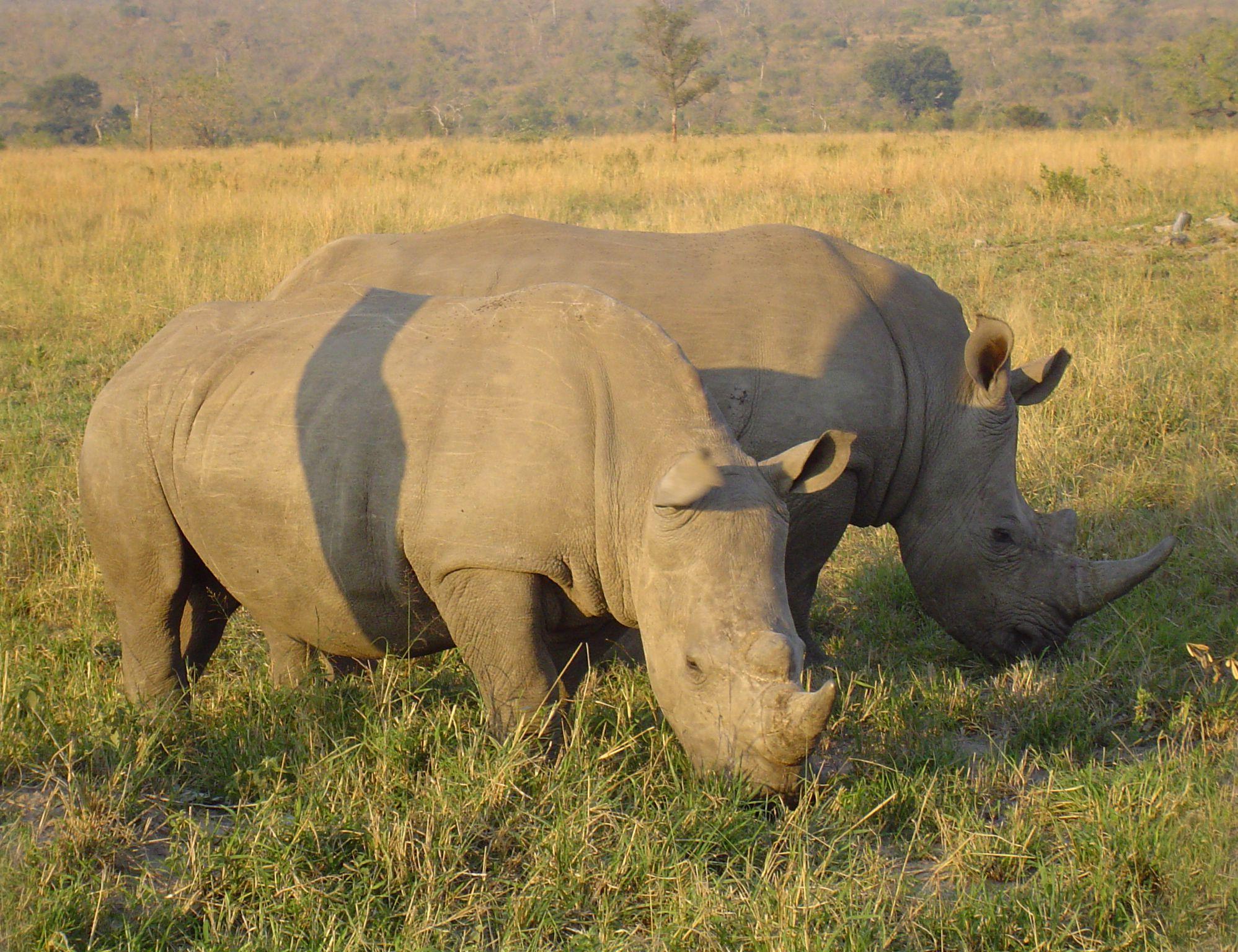 2005070719452421Rhinoceros in South Africa