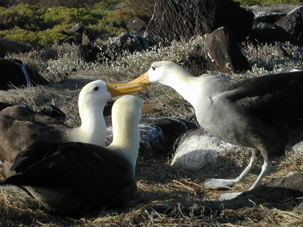 http://upload.wikimedia.org/wikipedia/commons/archive/b/b3/20081029205854!Albatros-Galapagos.jpg