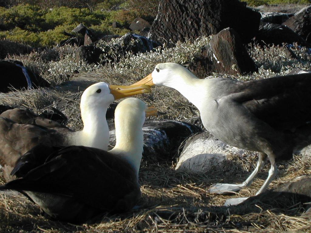 http://upload.wikimedia.org/wikipedia/commons/archive/b/b3/20081029205854!Albatros-Galapagos.jpg