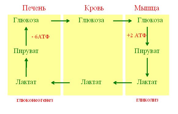 File:Цикл Кори.png
