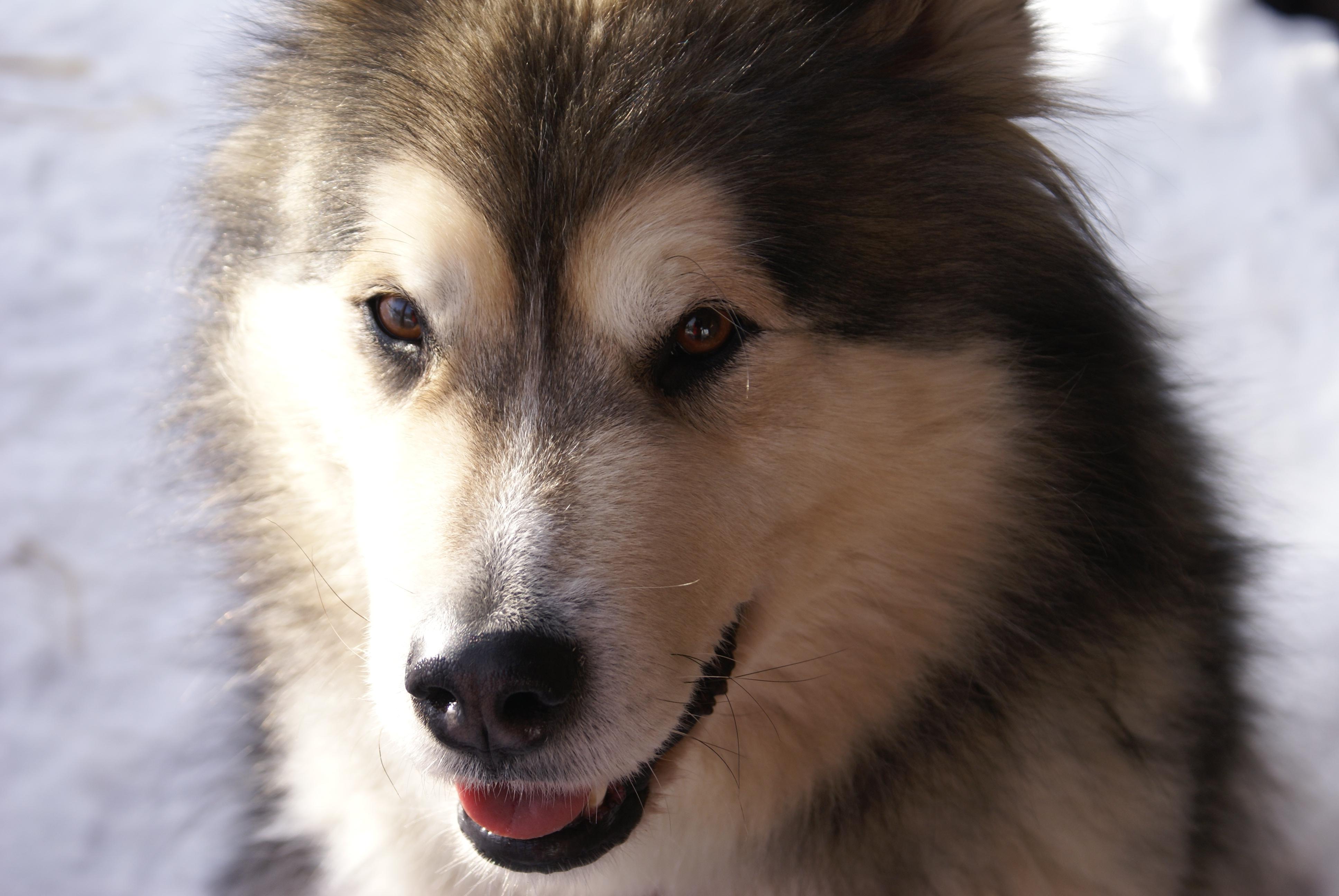 Alaskan Husky Dog Puppies For Sale