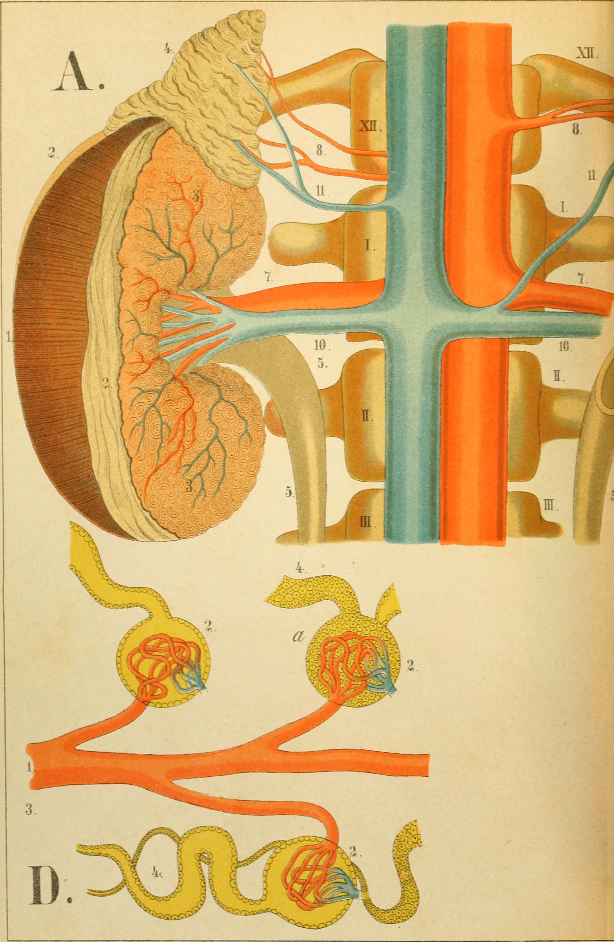 File:An atlas of anatomy - or, Pictures of the human body in twenty ...