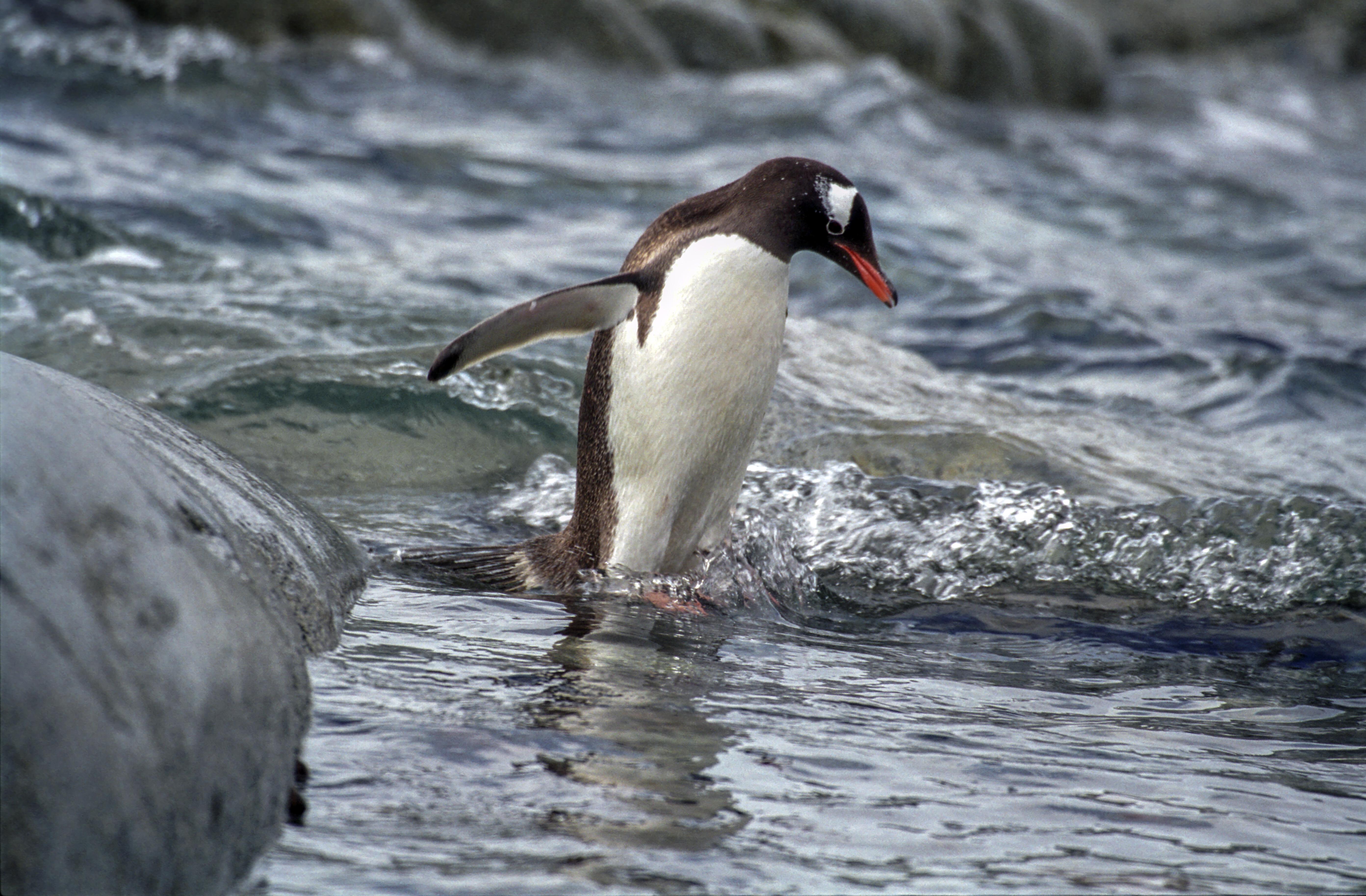 Gentoo Penguin photo by Jerzy Strzelecki
