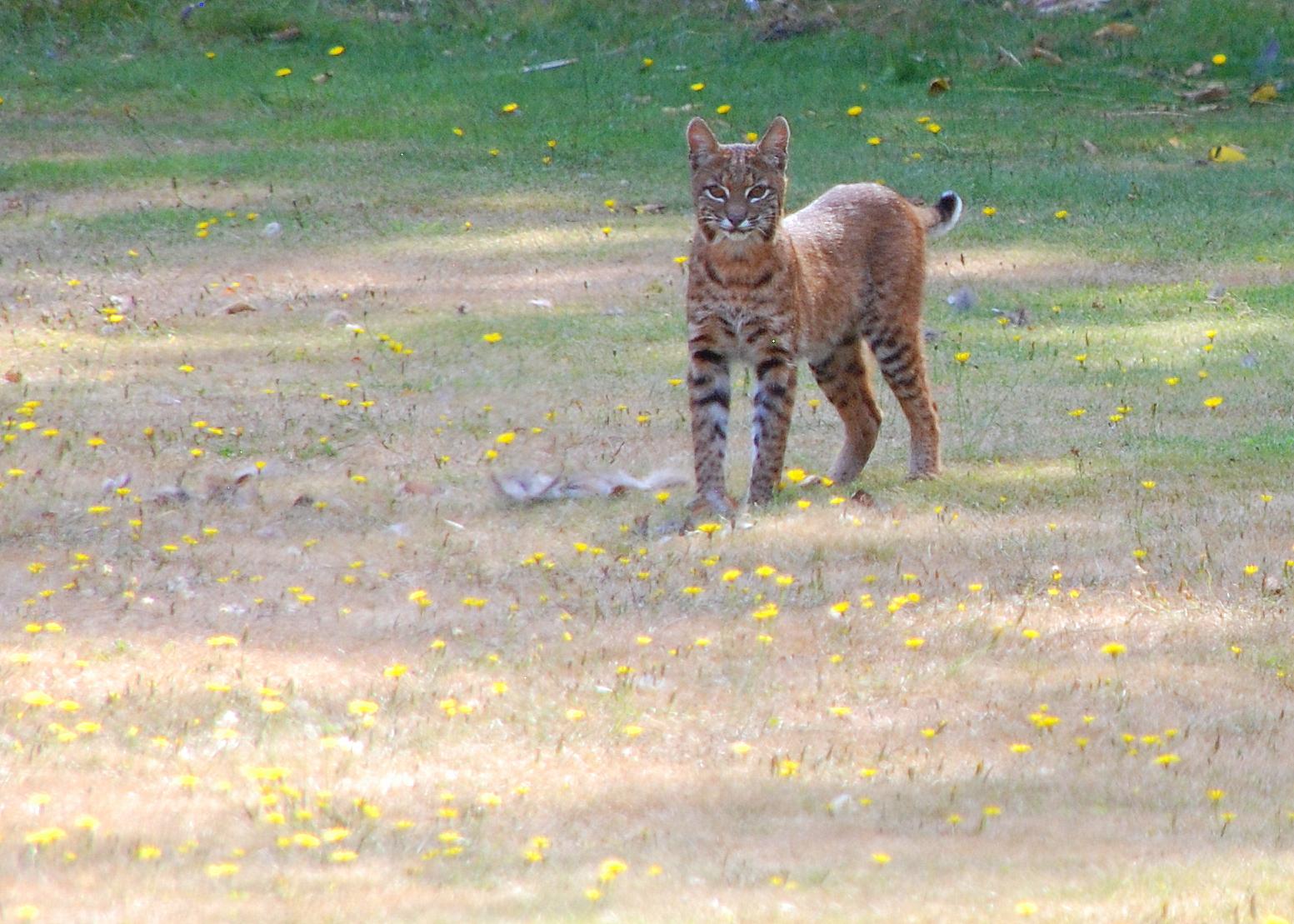 File:Bobcat in suburban backyard, North Bend, Washington ...