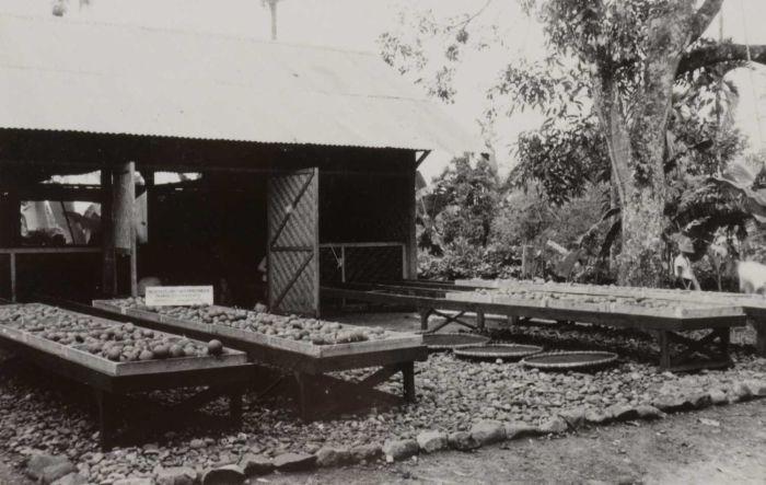 File:COLLECTIE TROPENMUSEUM Het drogen van het zaad van een damarboom (Agathis alba) West-Preanger TMnr 60051134.jpg