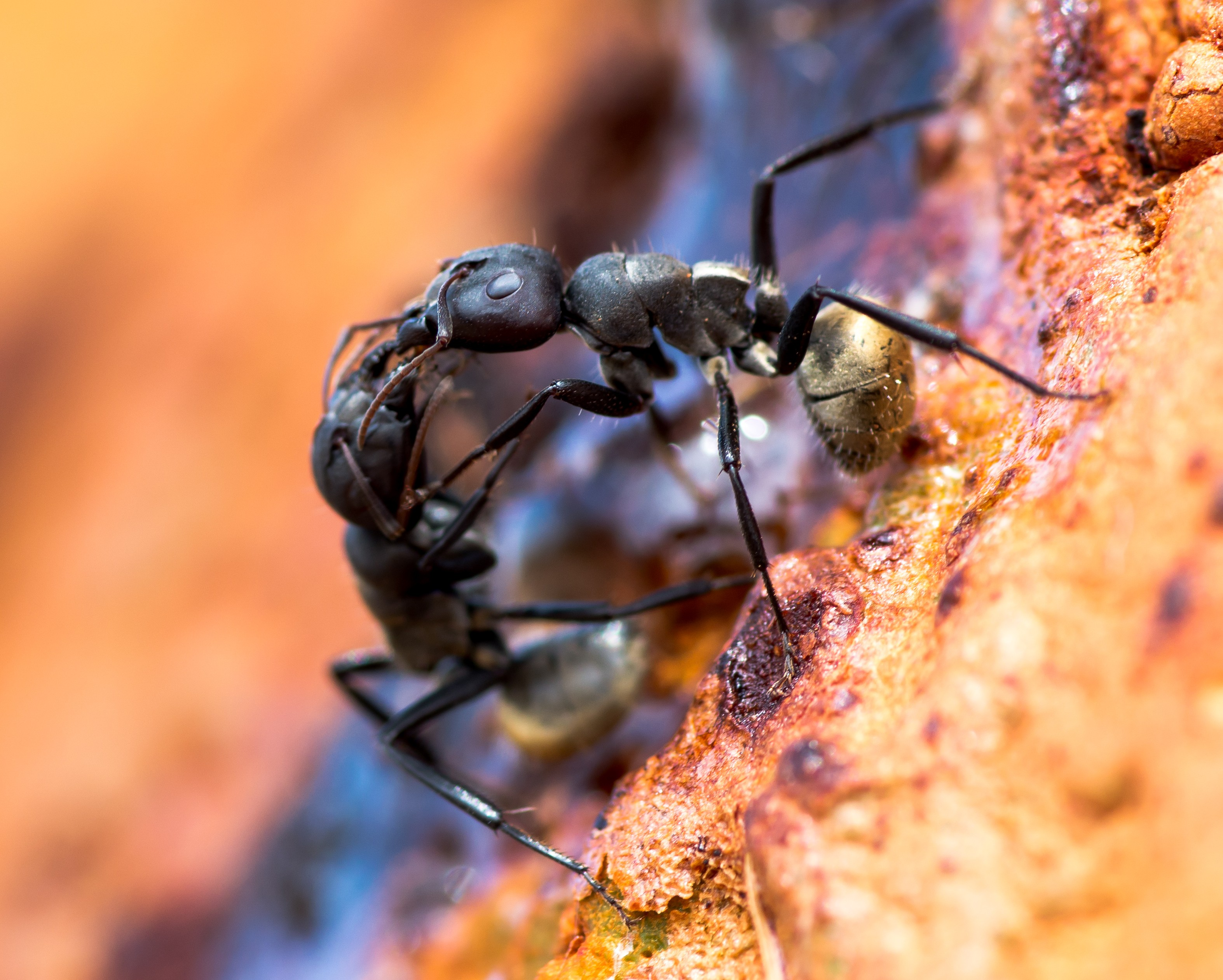 Two Camponotus sericeus workers communicating through touch and pheromones