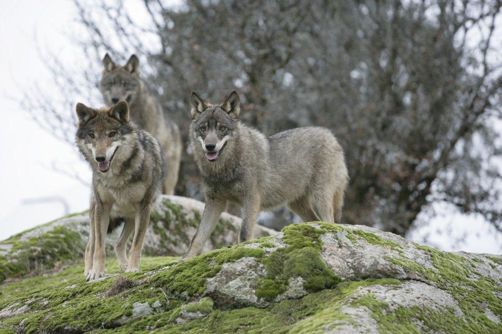 Canis_Lupus_Signatus.JPG