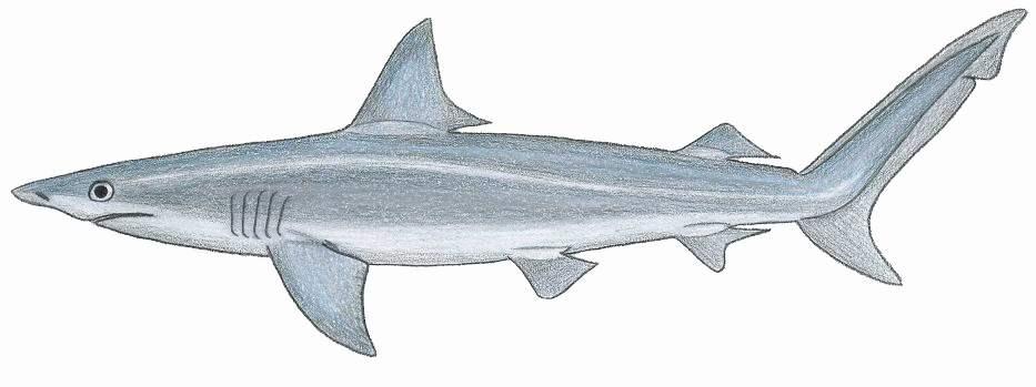 Carcharhiniformes - Wikispecies
