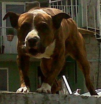 Pitbull Mexicano o Chamuco
