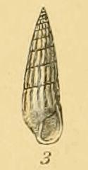 <i>Turbonilla pusilla</i> species of mollusc