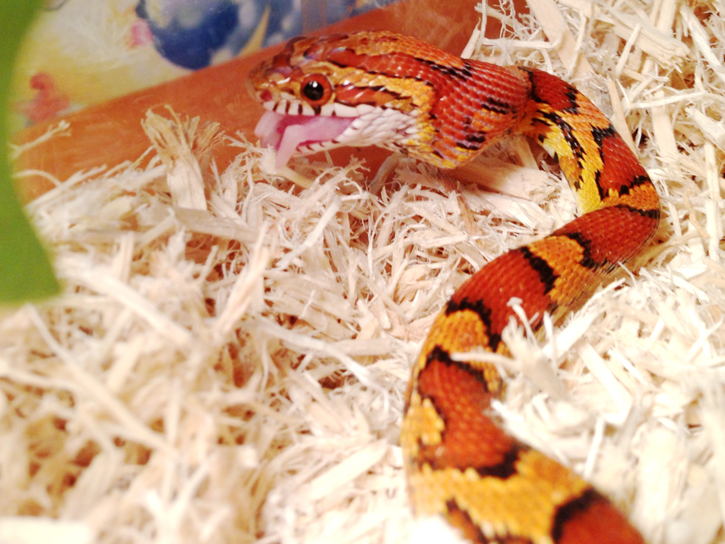 Tip And Ring Color Chart: Corn snake - Wikipedia,Chart